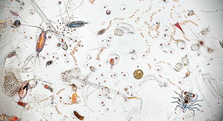 Image of pond water micro-organisms under microscope