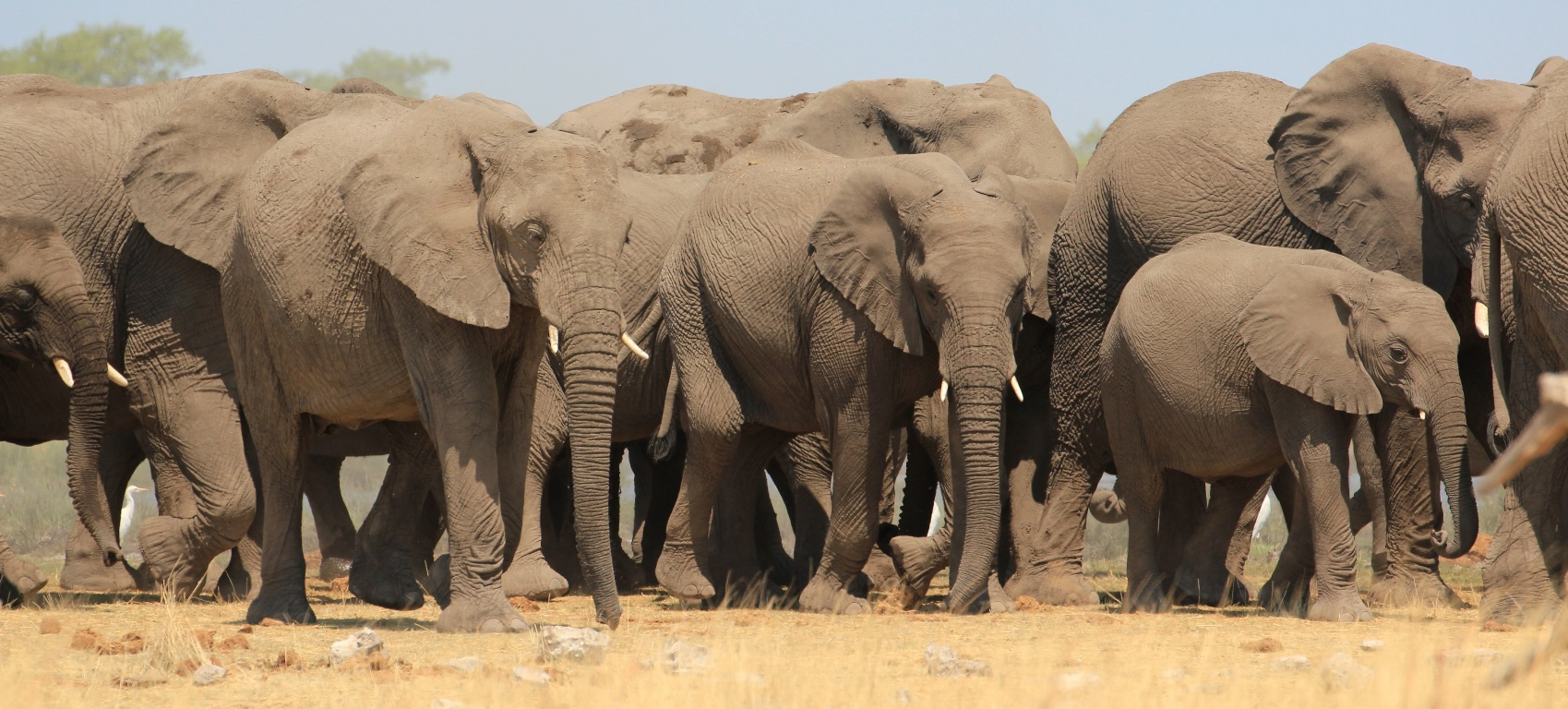 Herd of elephants milling around