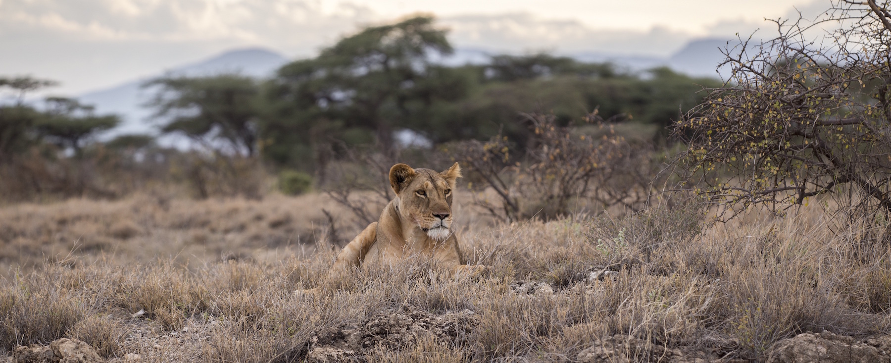 Lion hunts for prey on the savannah
