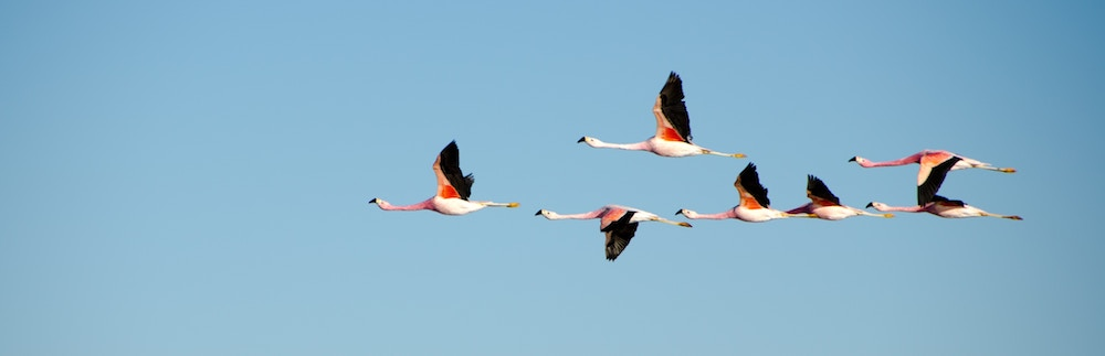 A flock of flamingos flying in formation