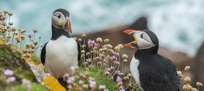A puffin receiving negative feedback